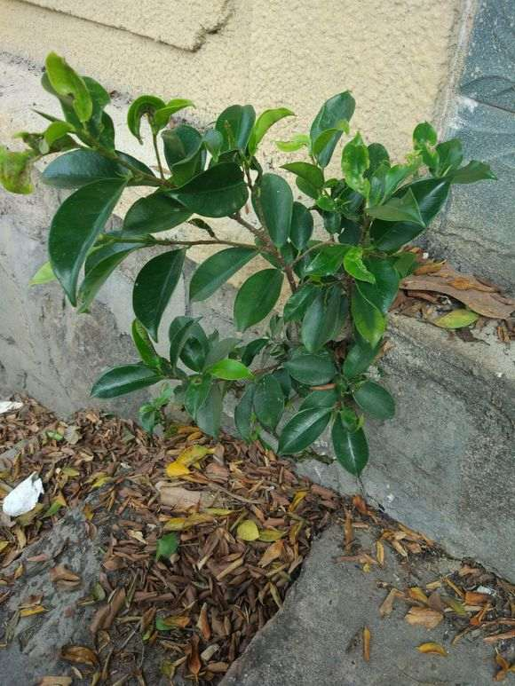 微型榕树下山桩怎么换盆的方法 图片