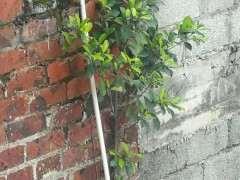 这是不是细叶榕树下山桩 怎么样 图片