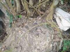 这棵斜叶榕树下山桩怎么样 有挖的价值没 图片