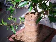 图解 榕树下山桩怎么生根的方法