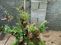 为什么赤楠下山桩要注意保水 一天喷5次以上