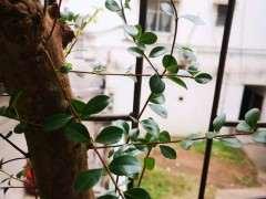 请问是赤楠下山桩 还是黄杨 怎么区分 图片