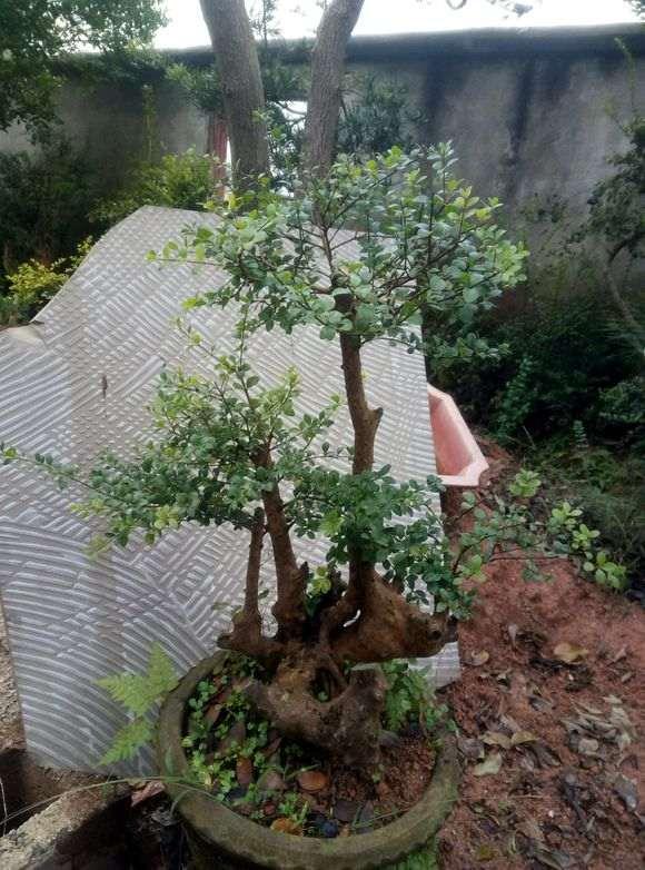 分享一下我的赤楠下山桩 图片