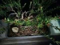 这到底是什么品种的赤楠下山桩 图片