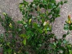请问这是赤楠下山桩吗 图片 谢谢