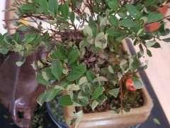 小赤楠下山桩长的有点快 怎么办 图片
