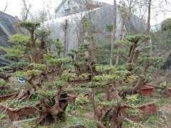 我的赤楠下山桩盆景 欣赏一下 图片