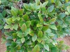 这赤楠下山桩叶子是怎么回事 图片
