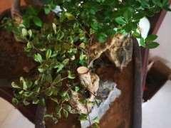 赤楠下山桩叶子干枯是怎么回事