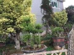 小叶赤楠下山桩都开始开花挂果了 图片