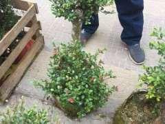 茶花桩怎么嫁接赤楠下山桩的方法 图片