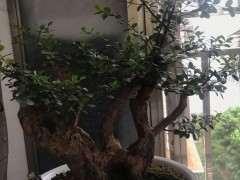小叶赤楠下山桩 修剪前后 对比图片