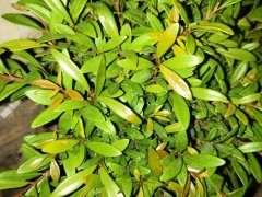 这是小叶赤楠下山桩吗 可以晒太阳吗 图片