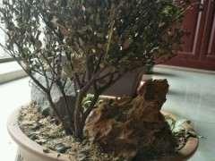 冬天赤楠下山桩能耐多低的温度 图片