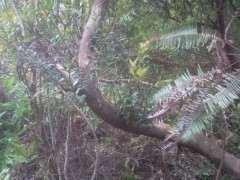 赤楠下山桩在什么时候挖最好 图片