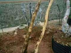 赤楠下山桩杆子怎么处理不开裂 图片