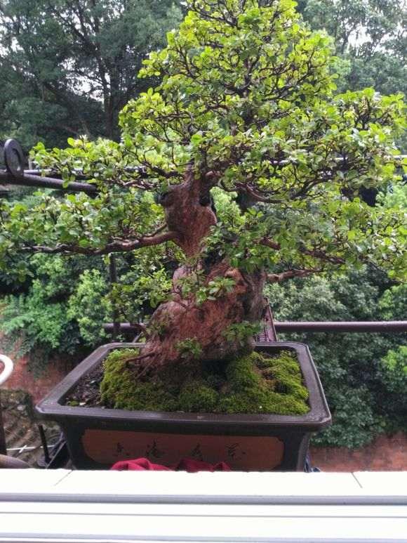 一盆自己养了17年的赤楠下山桩 图片