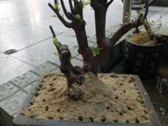赤楠下山桩熟桩怎么用沙子种植的方法