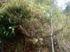 这是小叶赤楠下山桩吗 还是什么 图片