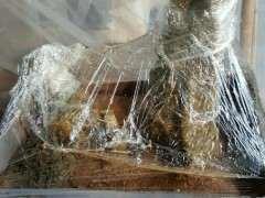 用塑料袋把赤楠下山桩包起来 可以促进发芽