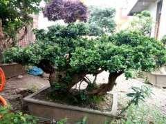 赤楠下山桩在地里种了八年 给个价格 图片