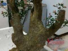 赤楠下山桩的新叶是假活吗 图片