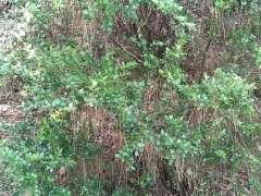 夏季节挖赤楠下山桩下来会不会活 图片