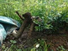 为什么赤楠下山桩刚发芽的 不好剪 图片