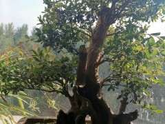 想让赤楠下山桩主枝平着长 有什么方法