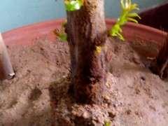 石榴下山桩终于发芽了 太好了 图片