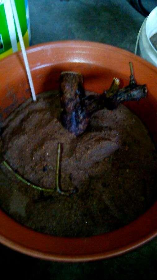 夏季石榴下山桩老桩怎么扦插的方法 图片