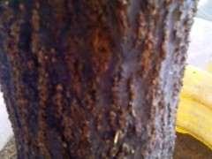 石榴下山桩小芽又长了 但气生很也很多 图片