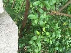 石榴下山桩的枝条怎么高压栽培 图片