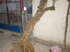 石榴下山桩播种一个多月了 还没发芽 图片