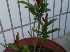 石榴下山桩用种子播很好 发芽没问题 图片