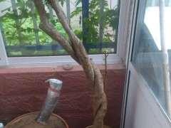 石榴下山桩的老叶都枯了 又发出了新芽