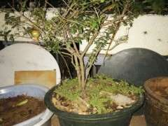 盆栽石榴下山樁怎么施肥剪枝啊 圖片