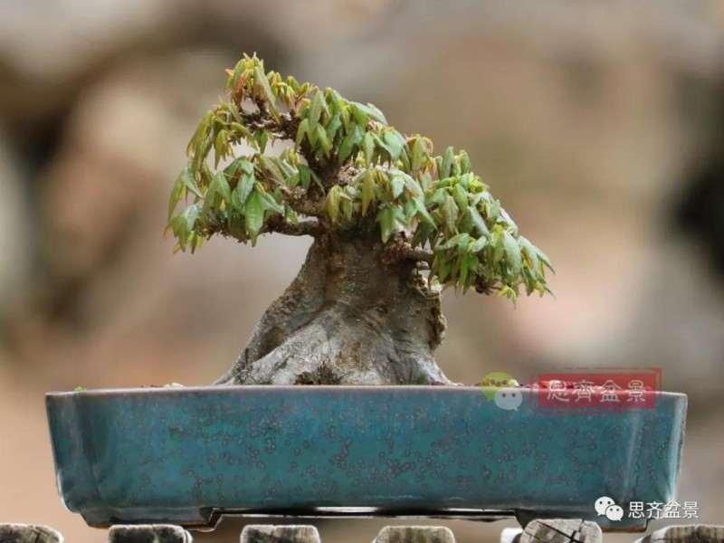 矮霸三角枫下山桩在冬季怎么修剪