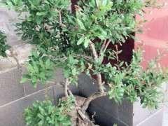 現在石榴下山樁徒長的枝葉 要不要剪掉