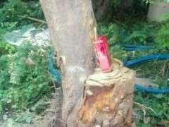 石榴下山桩树 现在还能栽活吗 图片