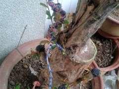石榴下山桩冬天是落叶休眠的 图片