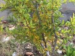 石榴下山桩叶子变黄了 请问怎么办 图片