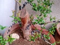 辽宁室外可以种植石榴下山桩树吗 图片