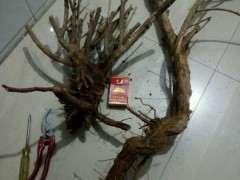 枸杞下山桩怎么制作平行枝和对称枝 图片