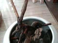 水培枸杞下山桩 一周来芽 怎么样 图片