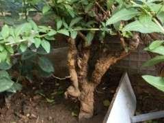 为什么枸杞下山桩枝条长了 要移栽到盆里