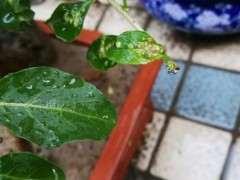 枸杞下山桩叶面上有虫子 怎么办 图片