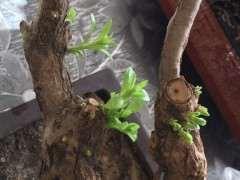 枸杞下山桩套袋10天发芽了 怎么生根