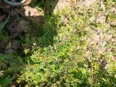 为什么我的榔榆下山桩叶子这么小 图片