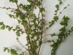 剪点榔榆下山桩的枝扦插 怎么样 图片